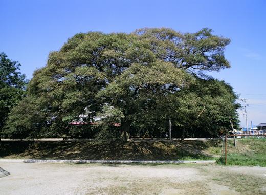 宮川町のエノキ